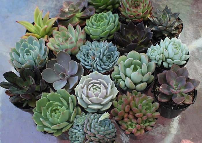 Teraryum Bitkileri Nelerdir - Sukulentler